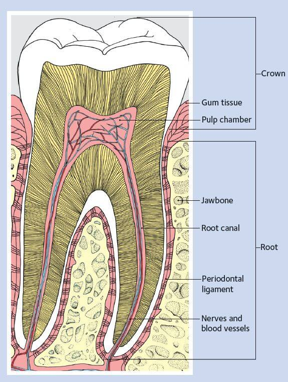 Tooth decay dalal dental care dr alpa dalal dds diagram of a healthy tooth dalal dental care ccuart Images